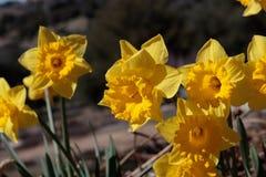 Zamyka up grupa jaskrawej żółtej wiosny Wielkanocni daffodils kwitnie outside w wiośnie Obrazy Royalty Free