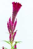 Zamyka up grzebionatka kwiat Obrazy Royalty Free