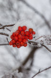 Zamyka Up Halnego popiółu jagody na Horyzontalnej gałąź Fotografia Royalty Free