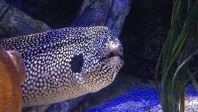 Zamyka up honeycomb mureny węgorz podwodny zbiory