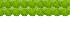 Zamyka up Hoya liść Obrazy Stock