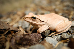 Zamyka up i skupia się krzak żaby, Polypedates leucomystax Drzewna żaba, typ mgła w naturze,/ Obrazy Royalty Free