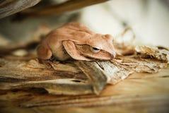 Zamyka up i skupia się krzak żaby, Polypedates leucomystax Drzewna żaba, typ mgła w naturze,/ Zdjęcia Stock