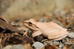 Zamyka up i skupia się krzak żaby, Polypedates leucomystax Drzewna żaba, typ mgła w naturze,/ Obraz Stock