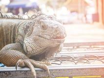 Zamyka up iguana, Obrazy Stock