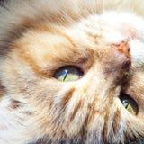 Zamyka Up imbir i Biała kot głowa Do Góry Nogami Obrazy Stock