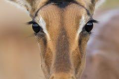 Zamyka up Impala oczy fotografia royalty free