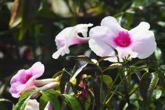 Zamyka up Irysowy Dziki kwiat, Nowa Zelandia Zdjęcia Royalty Free