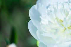 Zamyka up jasnoróżowy peonia kwiat naturalne abstrakcyjne tło Fotografia Royalty Free