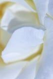 Zamyka up jasnoróżowy peonia kwiat naturalne abstrakcyjne tło Obrazy Stock