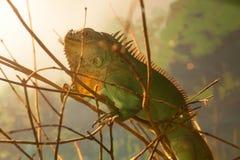 Zamyka up jaszczurka na drzewie Zdjęcia Royalty Free