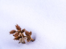 Zamyka up Kłujący Nasieniodajny strąka grono Fotografia Royalty Free