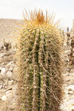 Zamyka up kaktus Zdjęcia Stock