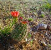 Zamyka up kaktus w lecie w pustyni obrazy royalty free