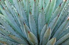 Zamyka up kaktus wymieniająca Harvard agawa Obrazy Stock
