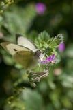 Zamyka up Kapuścianego bielu motyl zapyla Wildflower podczas wiosny Obrazy Royalty Free