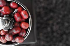 Zamyka up kawowe fasole dojrzewa w kawowym ostrzarzu Zdjęcie Royalty Free
