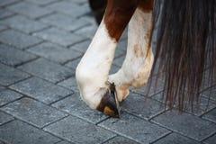 Zamyka up koński kopyto z podkową Obraz Royalty Free