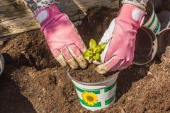 Zamyka up kobieta pracuje w ogródzie i zasadza warzywa Zdjęcie Stock