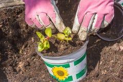 Zamyka up kobieta pracuje w ogródzie i zasadza warzywa Fotografia Royalty Free