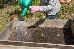 Zamyka up kobieta pracuje w ogródzie i zasadza warzywa Obraz Stock