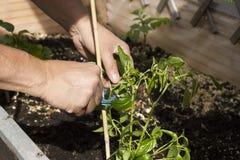 Zamyka up kobieta pracuje w ogródzie i zasadza warzywa Obrazy Royalty Free