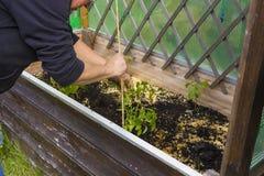 Zamyka up kobieta pracuje w ogródzie i zasadza warzywa Obrazy Stock