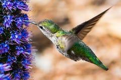 Zamyka up kobiety Anna ` s Hummingbird fotografia royalty free