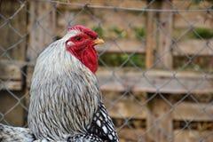 Zamyka up kogut na tradycyjnym wiejskim farmyard Zdjęcia Stock