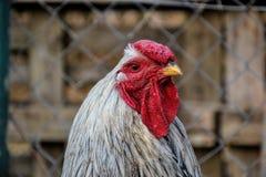 Zamyka up kogut na tradycyjnym wiejskim farmyard Obrazy Stock