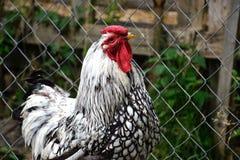 Zamyka up kogut na tradycyjnym wiejskim farmyard Fotografia Stock