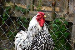 Zamyka up kogut na tradycyjnym wiejskim farmyard Zdjęcie Royalty Free