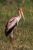 Zamyka up kolor żółty wystawiający rachunek bocian, wielki ptasi miejscowy Afryka Fotografia Stock