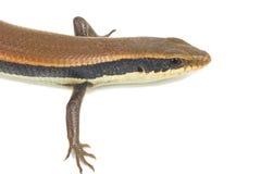 Zamyka up kolorowa dzika jaszczurka (Agamidae) Zdjęcie Royalty Free