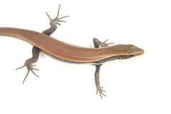 Zamyka up kolorowa dzika jaszczurka (Agamidae) Obrazy Royalty Free