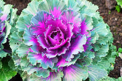 Zamyka Up Kolorowa Ornamentacyjna kapusta Fotografia Stock