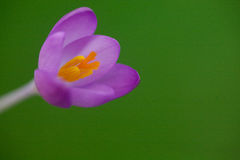 Zamyka up krokusa kwiat Zdjęcia Stock