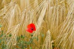 Zamyka up kukurydzany maczek w pszenicznym polu Obraz Royalty Free