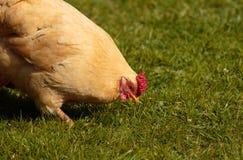 Zamyka up kurczak fotografia royalty free