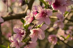 Zamyka up kwiatonośni migdałowi drzewa Piękny migdałowy kwiatu okwitnięcie obrazy stock