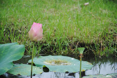 Zamyka up kwitnąć lotosowego kwiatu z liśćmi obrazy royalty free