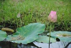 Zamyka up kwitnąć lotosowego kwiatu z liśćmi zdjęcia royalty free