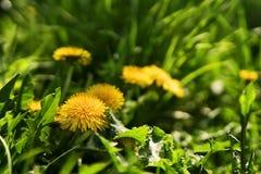 Zamyka up kwitnący żółci dandelion kwiaty Zdjęcia Royalty Free