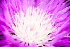 Zamyka up kwitnący wybielanie chabrowy Obrazy Royalty Free