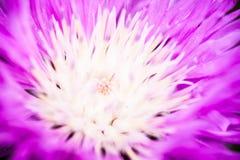 Zamyka up kwitnący wybielanie chabrowy Fotografia Royalty Free