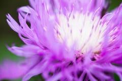 Zamyka up kwitnący wybielanie chabrowy Obraz Stock