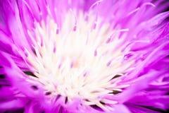 Zamyka up kwitnący wybielanie chabrowy Obraz Royalty Free