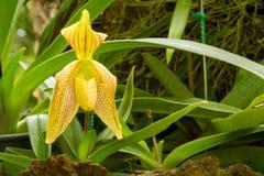 Zamyka up Lady& x27; s pantoflowa orchidea Obraz Stock