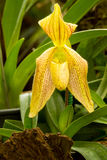 Zamyka up Lady& x27; s pantoflowa orchidea Zdjęcia Stock