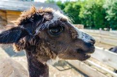 Zamyka up lama głowy portret Zdjęcia Stock